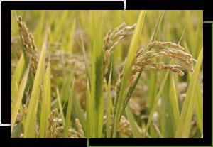 USDA certified organic rice
