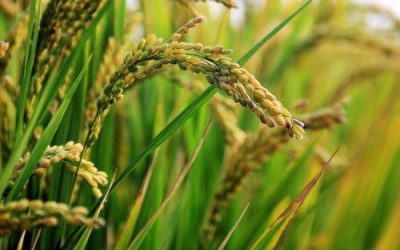 Organic Rice Suppliers in Pakistan