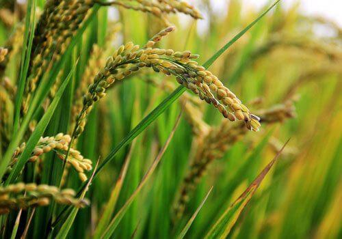 Organic Rice Suppliers in Pakistan - Pakistan Organic Farms