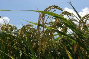 rice varieties in Pakistan